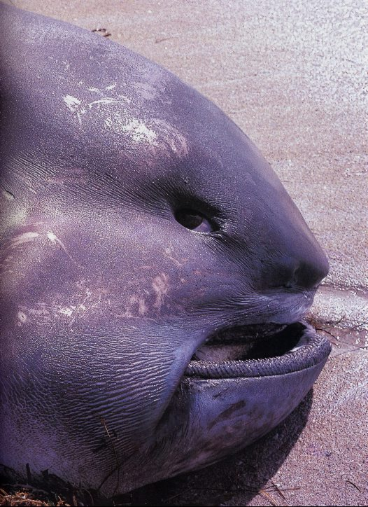 introducing the megamouth shark exploring our oceans