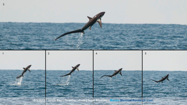 It is not fully understood why thresher sharks breach