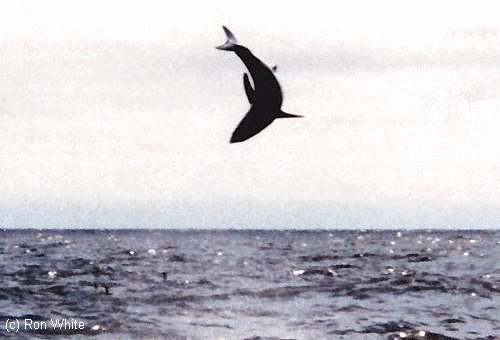 Mako sharks can often seen breaching when trying to struggle free from fishing hooks