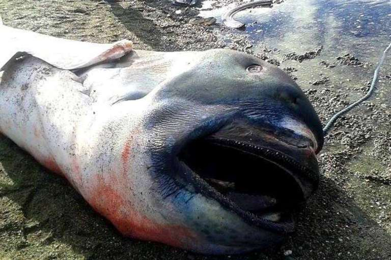 This megamouth shark was washed up on the 28th of January in the Philippines and is only the 60th confirmed sighting. Photo: Rosalina Sariola